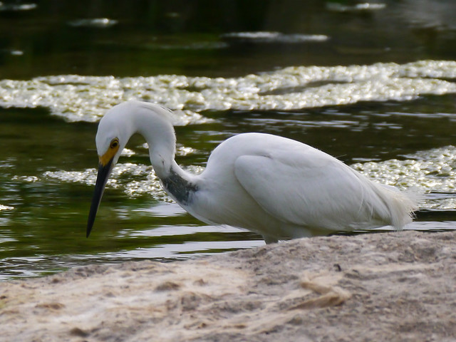 Snowy Egret with Scar