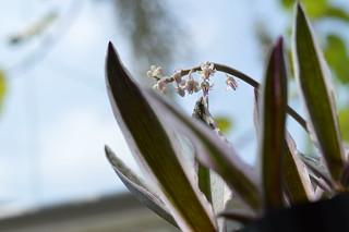DSC_3632 Ledebouria socialis variegata レデボウリア ソシアリス (syn.Scilla violacea)