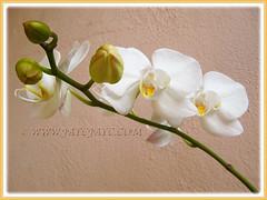 White Phalaenopsis Orchid cv. aphrodite (Moth Orchid, Phal.) blooming again in 19th Jan. 2016