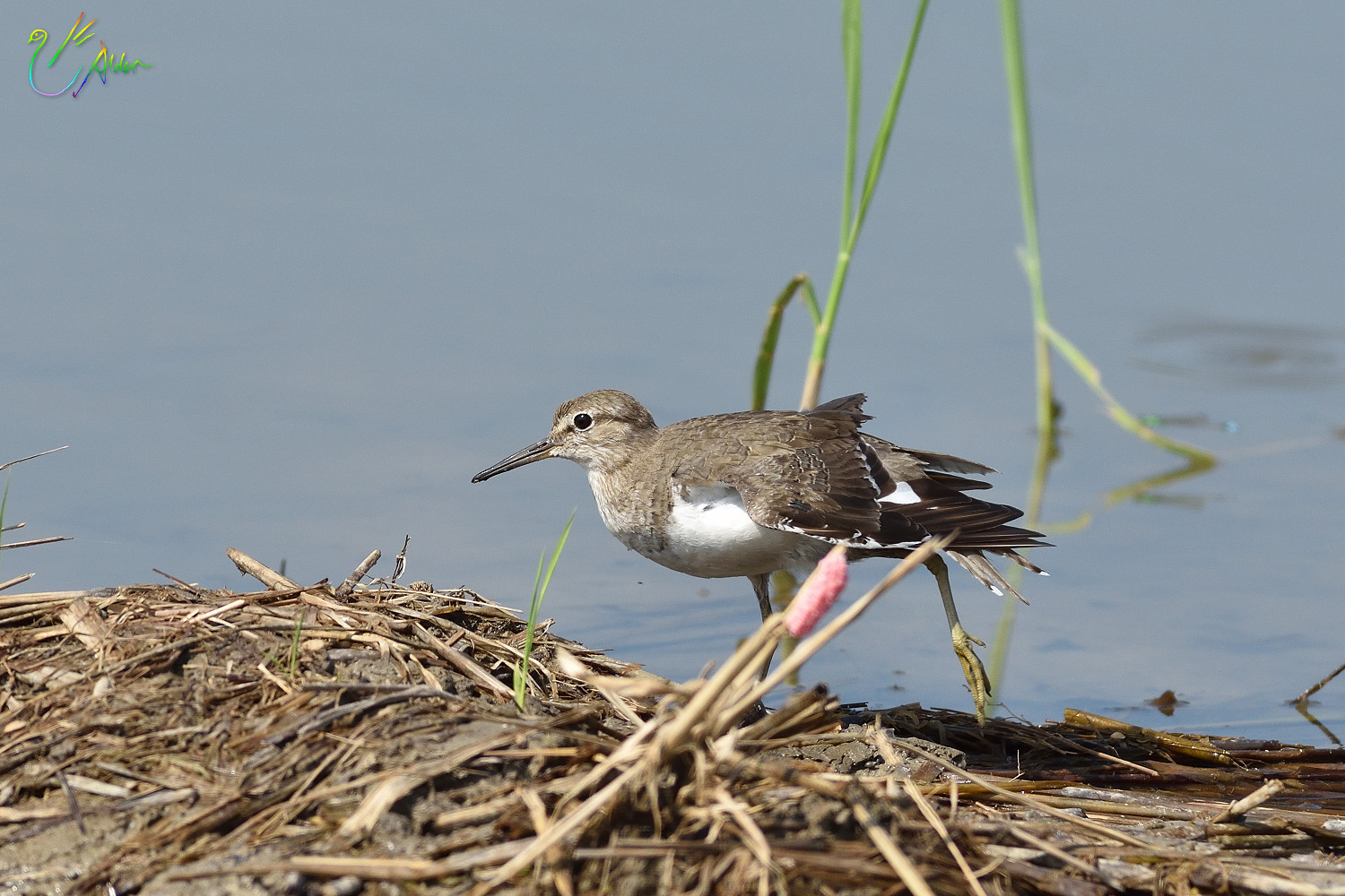 Common_Sandpiper_8704