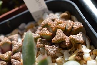 DSC_4041 Titanopsis hugo-schlechteri  チタノプシス 天女扇