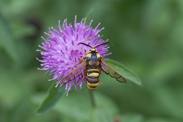 Hornet Clearwing