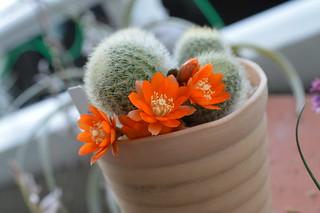 DSC_3324 Rebutia archibuiningiana L404  レブチア アーチブイニンギア