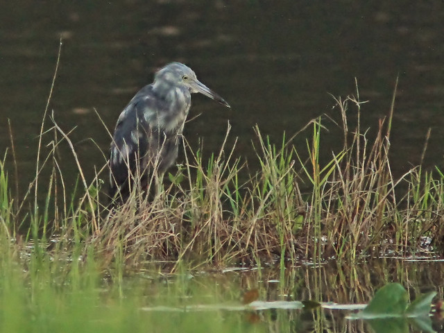 Little Blue Heron transitional plumage 20160810