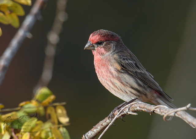 House Finch 10_21