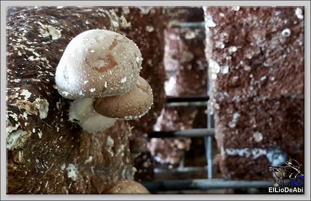 Fungiturismo, las setas de Pradejón 8