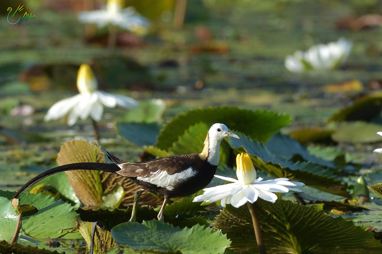 Pheasant-tailed_Jacana_3362