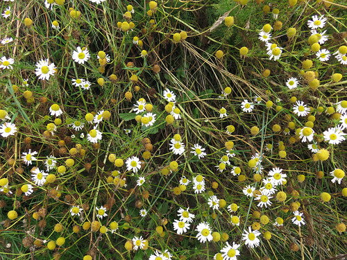 A mass of daisies from our White Rocks Coastal Walk in Northern Ireland, UK