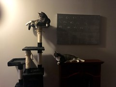 Watson won't let Crick onto the cat tree