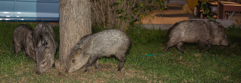 Javelina in Yard 1