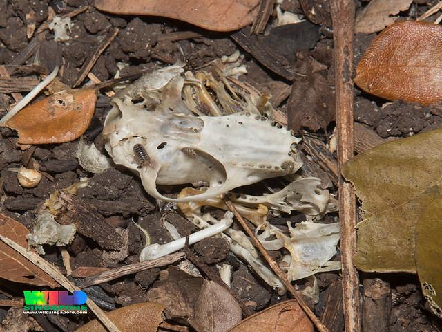 Spotted Wood Owl (Strix seloputo) pellet