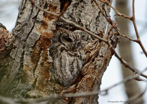 Western Schreech-Owl (Megascops kennicottii)