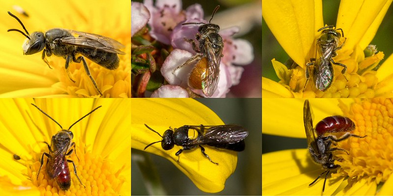 Collage of native bees