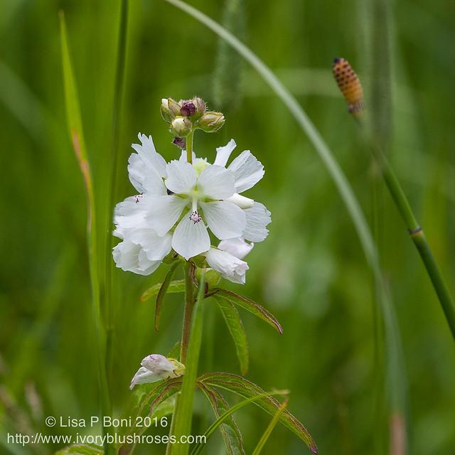 2016.07.21RMNPflowers09