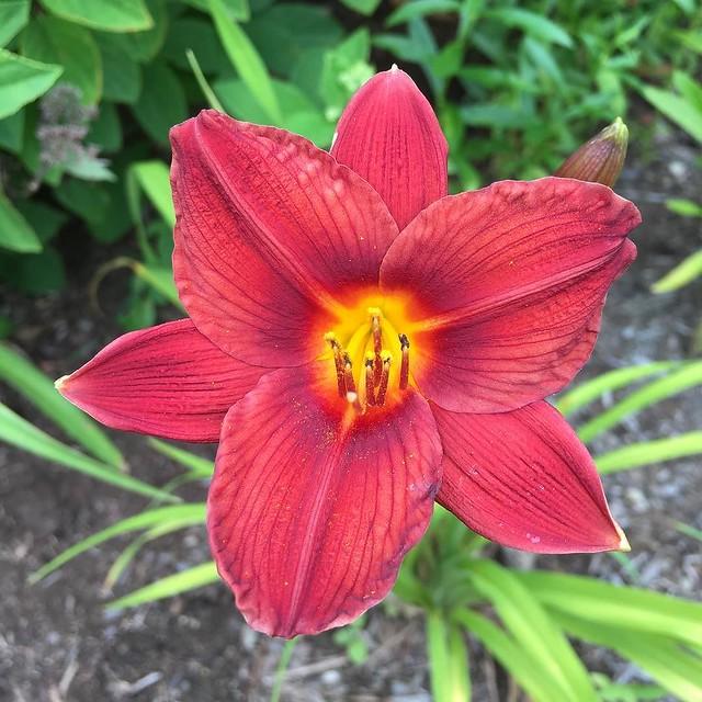 Petite red #daylily. ❤️❤️❤️❤️