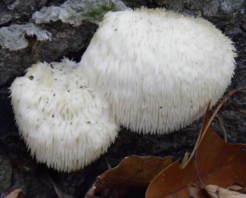 Mushroom - Lion's Main Hericium erinaceus