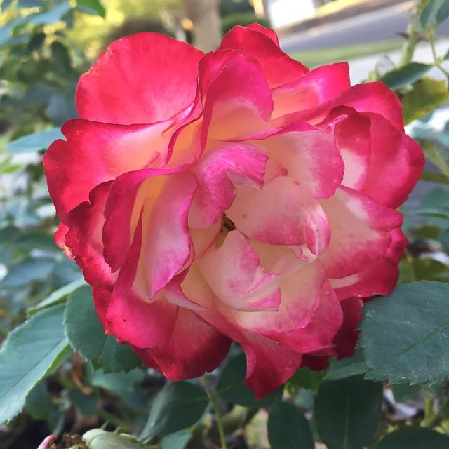 Rose bicolor