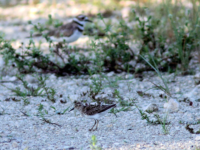 Least Sandpiper and Killdeer HDR 20160723