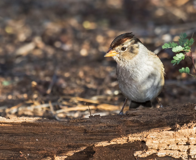 White-crowned-Sparrow-12-7D2-100716