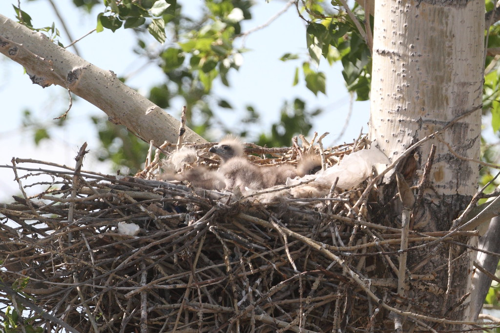 Black Kite's nest