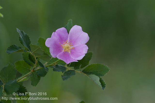 2016.07.21RMNPflowers18