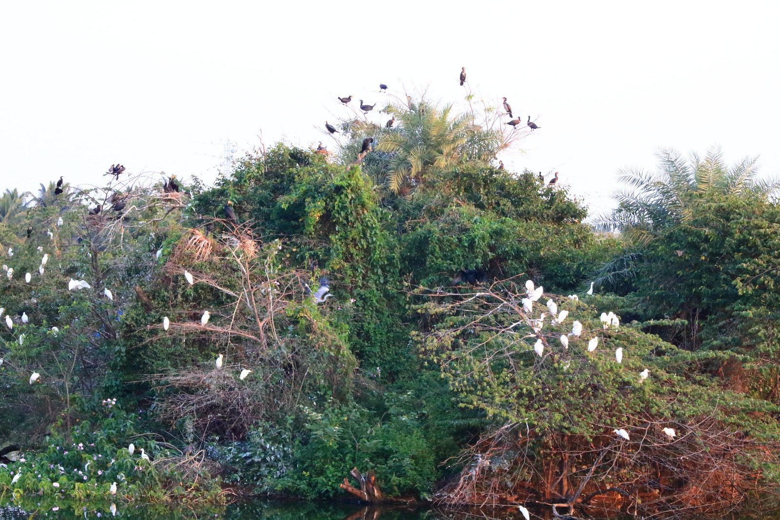 Egrets and little cormorants