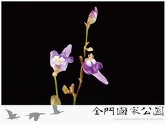 斜果狸藻-01