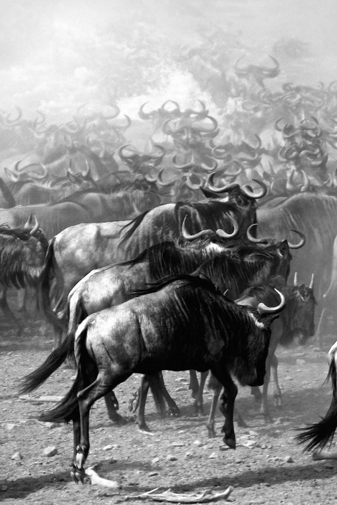 FA06 FA01 YSMoreno (KENYA) - ÑUS EN MIGRACION - Tomada en MASAI MARA el 100816