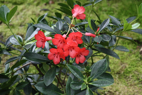 Rhododendron jimmy_sax