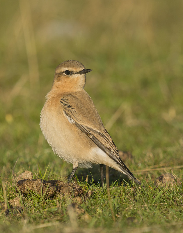 Wheatear, Pegsdon, 3rd September 2016