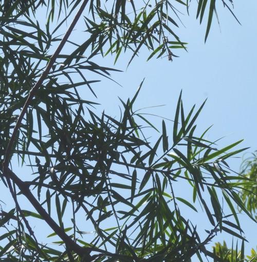 Afrocarpus mannii 28478729540_907a23626a_o