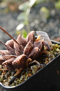 DSC_3427 Haworthia magnifica var. atrofusca hyb. H.ATR-01 ハオルチア アトロフスカ 交配種