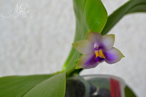 Phalaenopsis violacea coerulea : news !  28749908796_ef4bcf5a7f