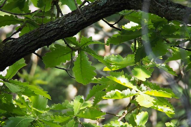 Daimyo oak (Quercus dentata)