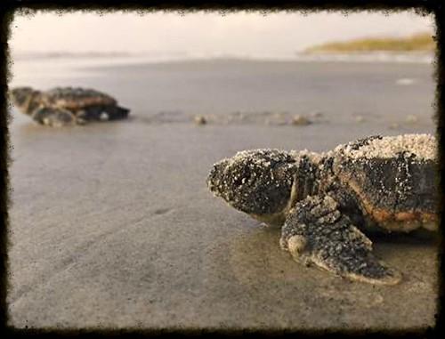 tybee turtle hatchlings