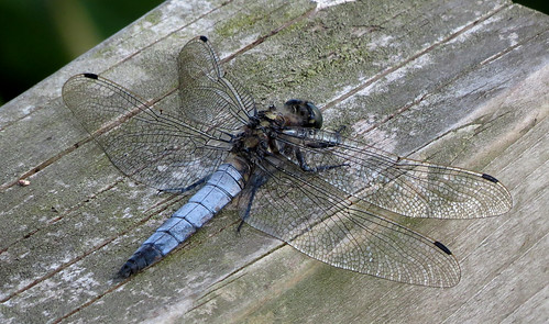 Black-tailed Skimmer Orthetrum cancellatum Tophill Low NR, East Yorkshire July 2016