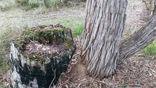 jarrah stump in decay