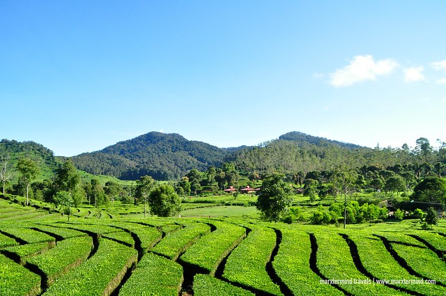 Rancabali Tea Plantation Indonesia