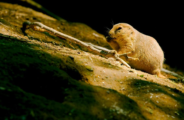 Black Tailed Prairie Dog_10