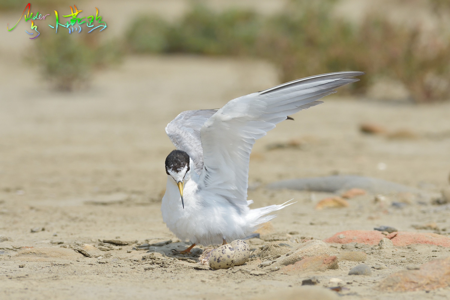 Little_Tern_5225