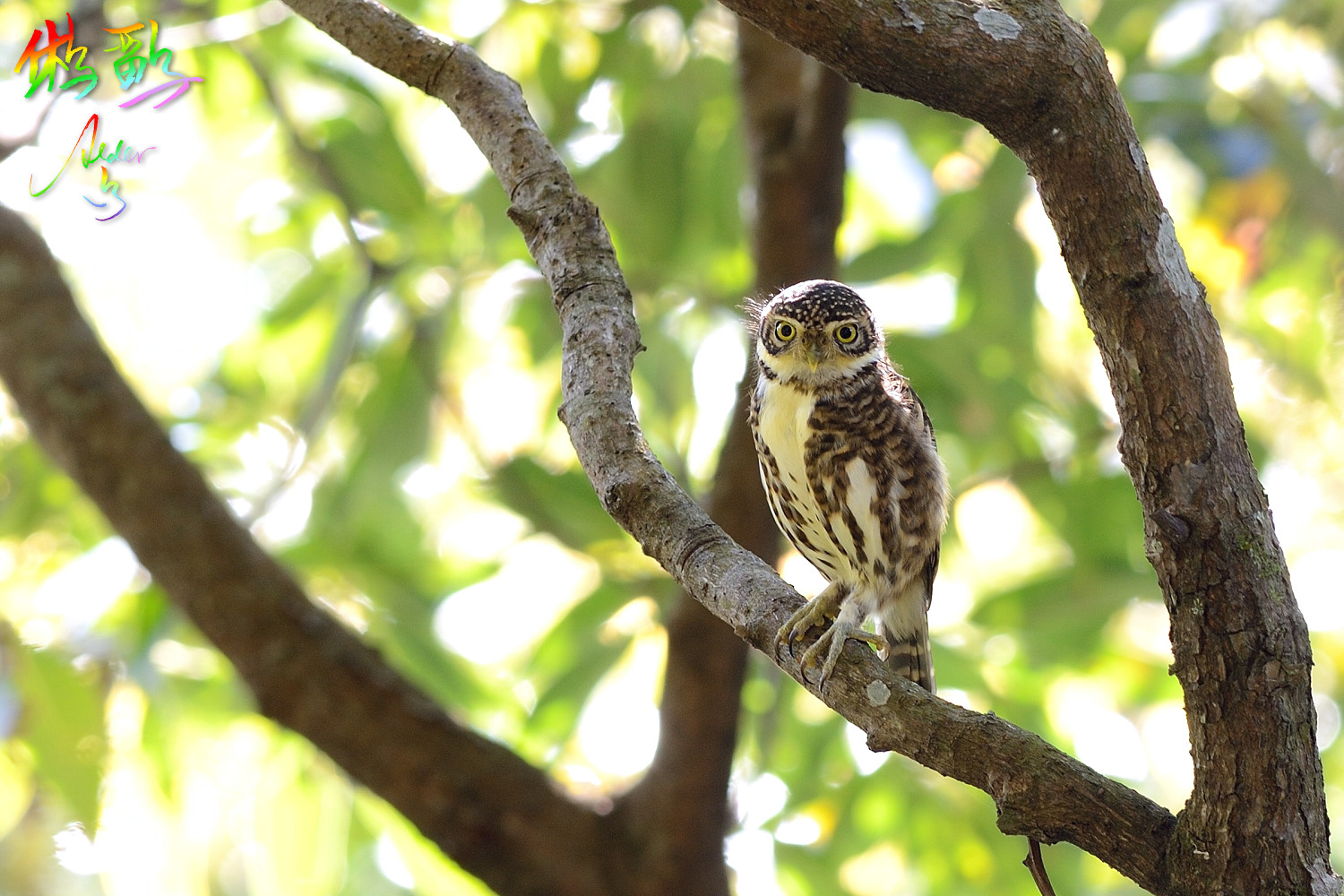 Collared_Pigmy_Owlet_6936