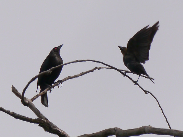 Bronzed Cowbird and Brown-headed Cowbird