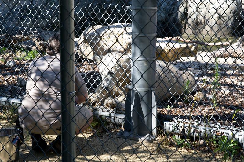 Polar bear cub training, Assiniboine Zoo, Winnipeg, Manitoba | packmeto.com