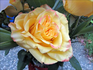 Another yellow rose