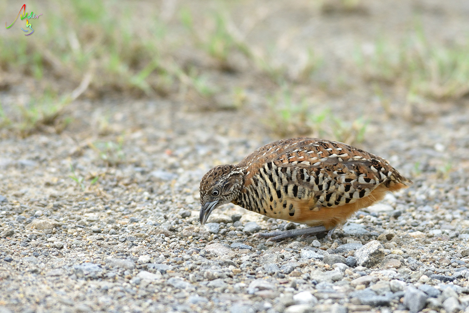 Barred_Buttonquail_3158