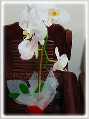 Gifted White Phalaenopsis Orchid from some parishioners of SFA Church in Cheras, 13 April 2015