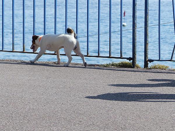 chien en promenade