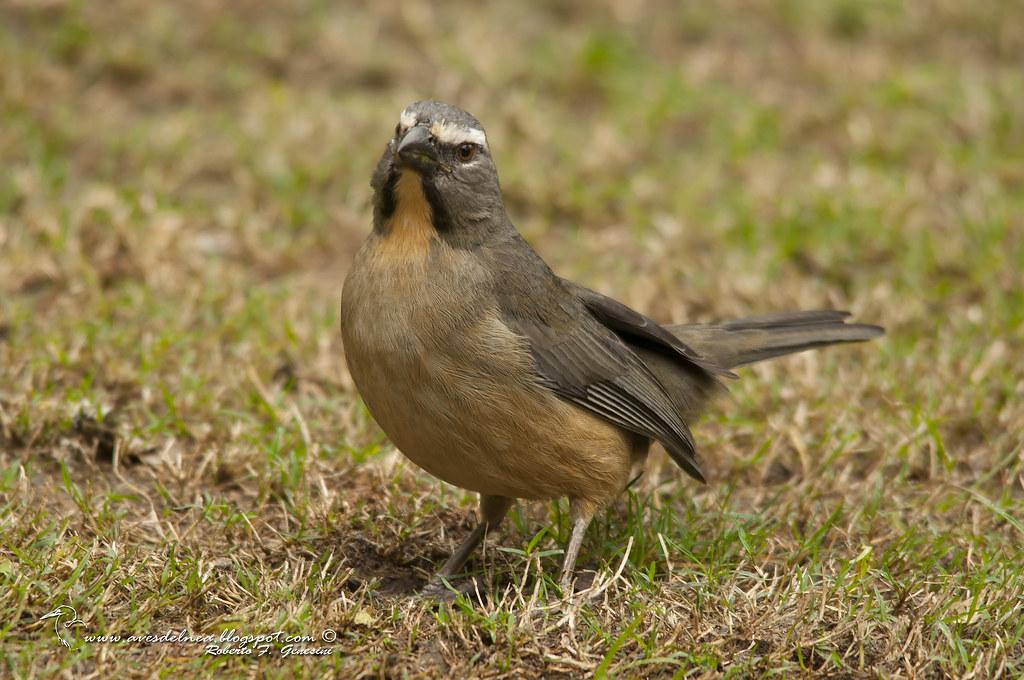 Saltator coerulescens