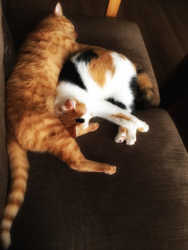 #cat #cats #catsofinstagram #catstagram #instacat #instagramcats #neko #nekostagram #猫 #ねこ #ネコ ネコ部 #猫部 #ぬこ #にゃんこ #ふわもこ部 #三毛猫 #茶トラ