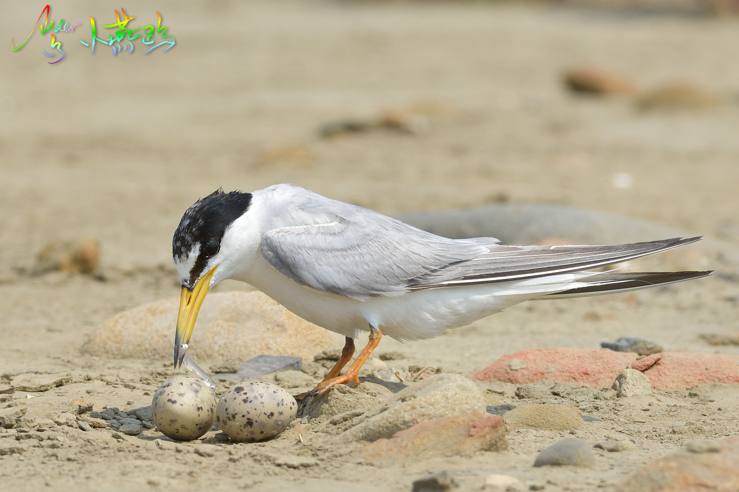 Little_Tern_4737